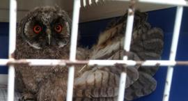 Ekopatrol znów w akcji - mała sowa uratowana dzięki zgłoszeniu mieszkanców