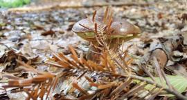Czas na grzyby! W białołęckich lasach prawdziwy wysyp - zobaczcie zdjęcia od mieszkańców
