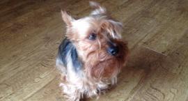 Zagubiony pies szuka właściciela!